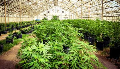 在美国种大麻的风险和收益